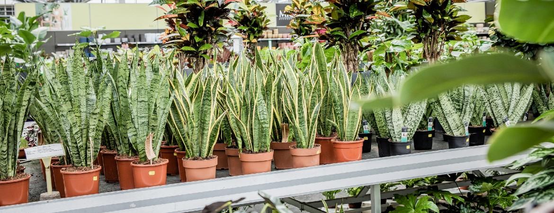 Grote kamerplanten online kopen