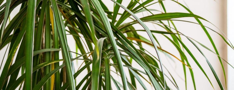 drakenbloedboom-eurofleur-tuincentrum