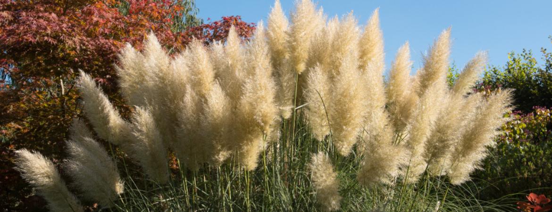 Cortaderia winterharde tuinplant