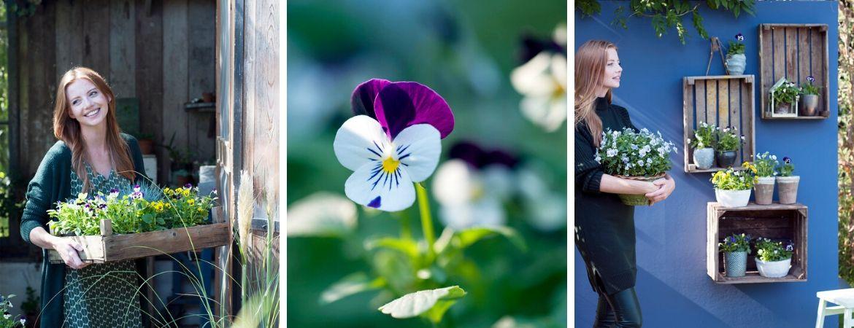 violen kopen als eenjarige tuinplant