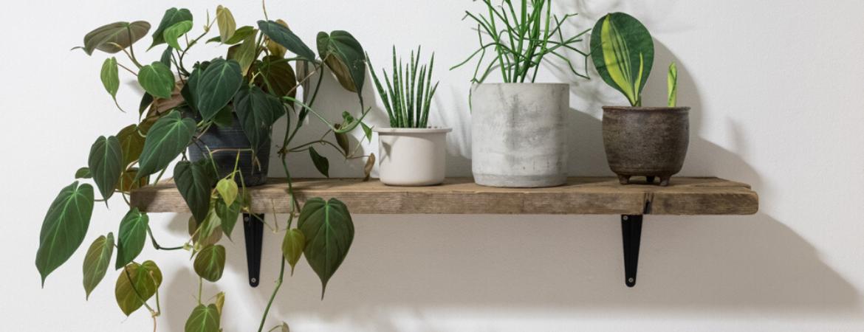 philodendron-hangende-planten-eurofleur