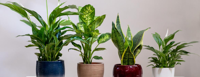 lepelplant-vrouwentong-donkere-kamerplant