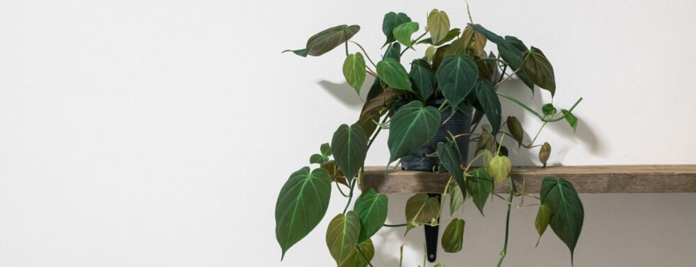 philodendron-kamerplanten-donkere-plekken