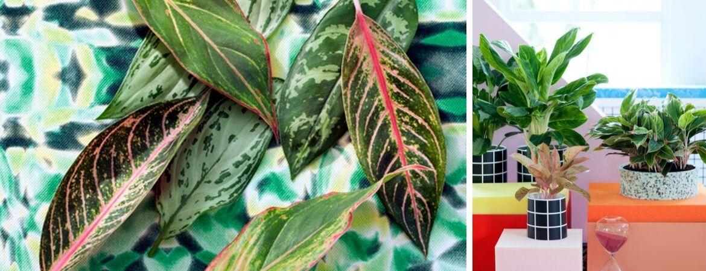 aglaonema woonplant voor in de slaapkamer