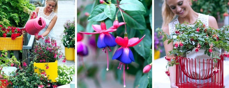 Fuchsia als perkplant
