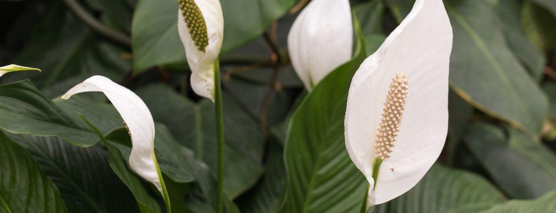 Lepelplant-eurofleur-tuincentrum