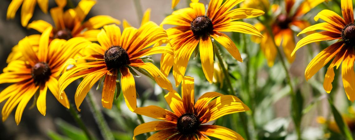 Gele zonnehoed (Rudbeckia)