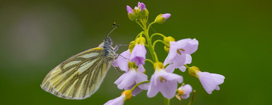 vlinder-waardplant-pinksterbloem