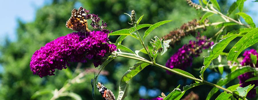 vlinderstruik-buddleja-vlinder