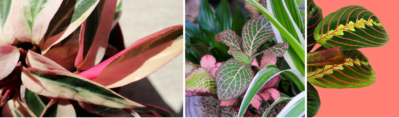 Roze kamerplanten kopen   Tuincentrum Eurofleur