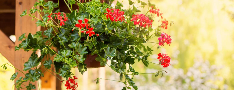 Maak een bloemenwolk van Geraniums